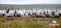 george-river-caribou-herd.jpg