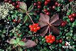 george-river-moss-berry-leaves.jpg
